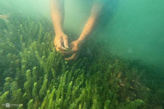 13 điều cần biết về rong nho biển (2)