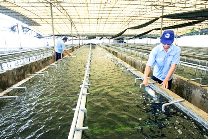 Nên mua rong nho tách nước loại nào tốt giữa Okinawa và Sabudo