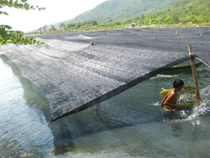 Quy trình nuôi trồng và sản xuất rong nho tách nước