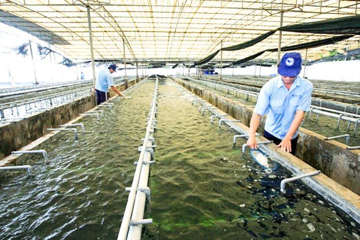 Quy trình sản xuất rong nho tách nước (1)